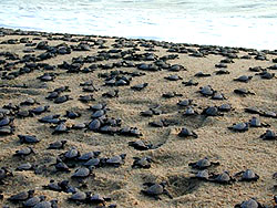 Lazaro Cardenas, Michoacan, Tortugitas or Baby Sea Turtles